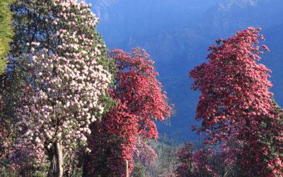 Rhododendronblüte im Annapurna-Gebiet