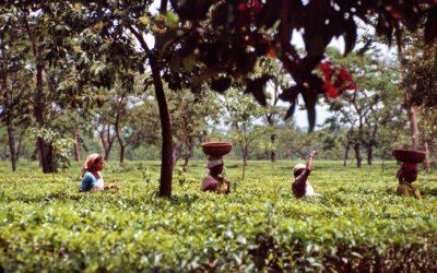 Kulturreise Darjeeling: Teepflückerinnen in der Teeplantage